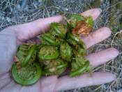 """Fiddleheads are from """"Fiddle Ferns"""" laymen terms.  Snip off the heads in the spring when they are still curled.  Remove the brown husk.  Eat raw or saute in butter if you prefer.  Don't pick from the wrong type of fern.  they should look just like the ones in my hand.  Disclaimer The following information on the Wild Edibles page(s) or the Wild Edible Gallery is intended to provide general information only.  To the best of my knowledge the information contained herein is correct. Wild Woman Outdoors asks that you do not eat or touch any wild edible plants, herbs, weeds, trees, insects, wild game, or bushes until you have verified with your doctor that they are safe for you.  No liability will exist against Wild Woman Outdoors or anyone who works for or volunteers for Wild Woman Outdoors; nor can they be held responsible for any allergy, illness or injuries that anyone may suffer as a result of the information and photos given within this website.  Information provided is not designed to diagnose, prescribe, or treat any illness or injury. Always seek the advice of your doctor when suffering from any health ailment or injury.  Keep all plant matter away from children. All natural products can be toxic or dangerous if misused."""