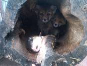 These Fox Kits were found after their mother got killed by a car.  Local citizens were trying to help so, they started befriending the kits.  They placed food and water at the den site.  They visited very often.  Sometimes, they watched the kits for an hour.  The citizens thought they were helping but, they did not know that male fox share the fox kit rearing responsibility and by them holding vigil at the den, the male wouldn't feel safe to return.  The meant very well.  Because of the amount of humanization they received and not knowing if the male would return, they were taken to a wonderful wildlife rehabilitator who released them back into the wild.  Fox can carry diseases and often have ticks and fleas and worms.   Disclaimer:  The rescued animals shown here were suffering from varied ailments.  I rescued them as part of my professional duties.  Please check with your individual state and the federal government for rules and regulations regarding animal rescue.  All animals that I have rescued were turned over to a Federal and/or State Licensed Wildlife Rehabilitation Center for their rehabilitation and release; if possible.