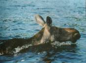 I attempted to rescue a small Bull Moose (not the Cow in picture at left), unfortunately the Young Bull Moose died while attempting to cross Lake Michigan in rough seas.  It is not uncommon for animals to swim across bodies of water; including the Great Lakes.  Disclaimer:  The rescued animals shown here were suffering from varied ailments.  I rescued them as part of my professional duties.  Please check with your individual state and the federal government for rules and regulations regarding animal rescue.  All animals that I have rescued were turned over to a Federal and/or State Licensed Wildlife Rehabilitation Center for their rehabilitation and release; if possible.