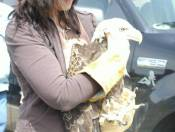 Getting ready to release A rehabilitated American Bald Eagle.  I rescued this guy.  He was so dehydrated, he couldn't open his eyes.